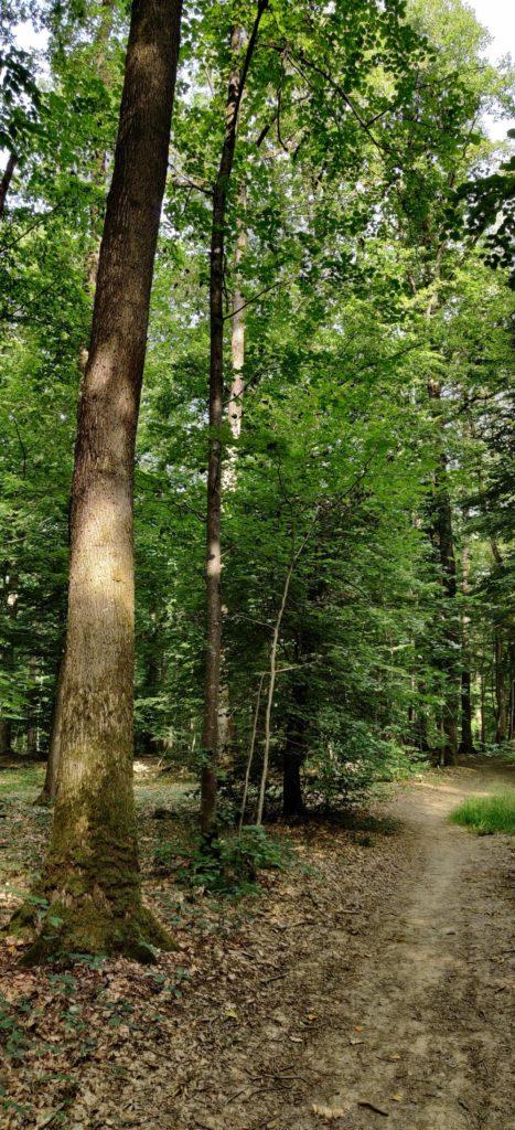 arbre champenoux